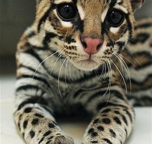 Download 66+  Gambar Kucing Hutan Lucu Terbaru HD