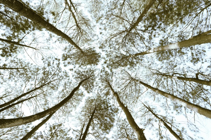 keindahan hutan pinus puncak becici
